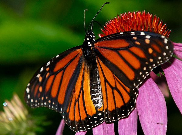 Monarch Butterfly, Quebec, Canada, August 2007.