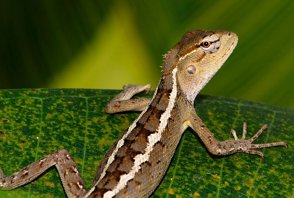 A small lizard out hunting for insects/