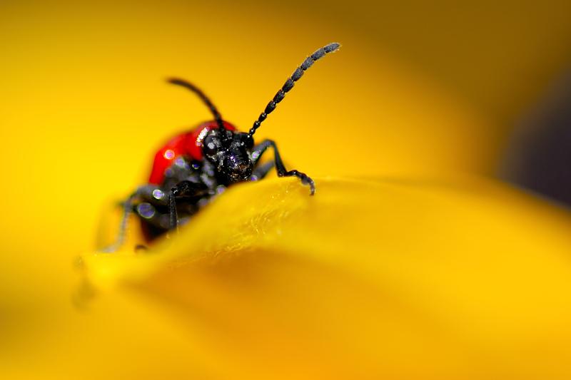 Bug on the petal of a Black-eyed Susan flower, Quebec, Canada, July 2008.