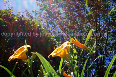 sunny day lillies