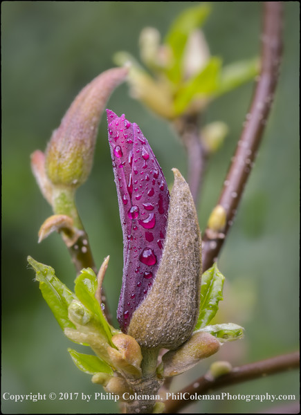 Magnolia Bud in the Rain