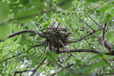 The nest (collection of twigs!) about 3m up in the tree above a baby dove on the ground.