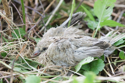 A baby dove on the ground, fallen from a nest 3m up in the trees.