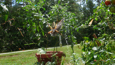 Garden spider caught a big moth.
