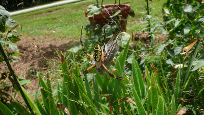 Garden spider that caught a big moth.