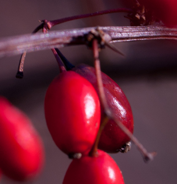 19 Rock Hill Rd - Bedford, NY - Barberry Berries