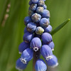 19 Rock Hill Rd - Bedford, NY - Grape Hyacinth