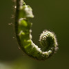 19 Rock Hill Rd - Bedford, NY - unfurling New York Fern Fiddlehead