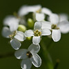 19 Rock Hill Rd - Bedford, NY - European Garlic Mustard