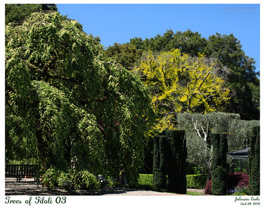 Trees of Filoli 03  Camperdown Elm and Sunburst Honey Locust.  Filoli, 28 April 2012