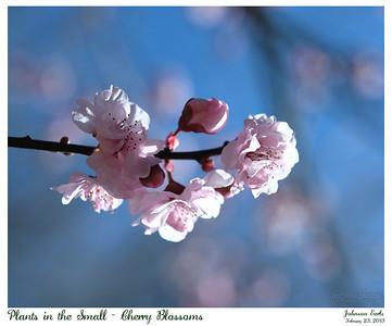 Plants in the Small - Cherry Blossoms  Filoli, 23 February 2013