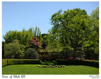 Trees of Filoli 05  The canopy of trees shading the end of the Walled Garden.  Filoli, 28 April 2012