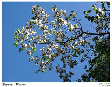 Dogwood Blossoms  Filoli, 28 April 2012
