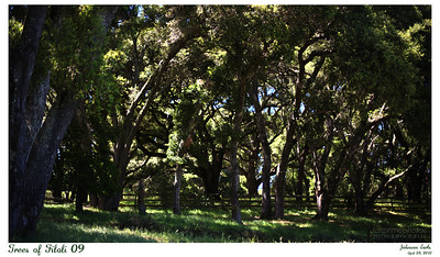 Trees of Filoli 09  Layers of trees lining the drive leading to the estate.  Filoli, 28 April 2012