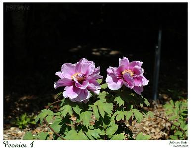 Peonies 1  Filoli, 28 April 2012