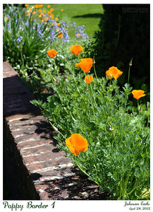 Poppy Border 1  Filoli, 28 April 2012