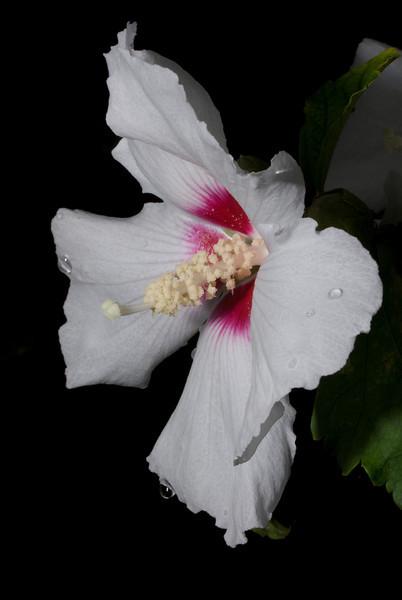 Airlie Garden -  Rose of Sharon 'Helene'