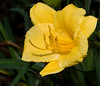 Airlie Garden - Halcyon Daylily