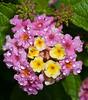 Airlie Garden - Lantana camera Pink Caprice
