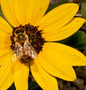• Flora from around my neighborhood<br /> • Narrow-Leaved Sunflower with a Honey Bee on it