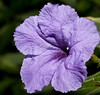 • Flora from around my neighborhood<br /> • Mexican Petunia