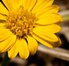 • Flora from around my neighborhood<br /> • Narrow-Leaved Sunflower