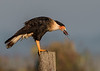 Crested Caracara eating its catch