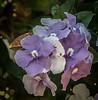 Brunfelsia Pauciflora Compacta