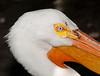 • Flamingo Gardens<br /> • Close-up of an American White Pelican