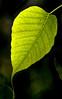 • Flamingo Gardens<br /> • A back-lit leaf - Ficus religiosa leaf
