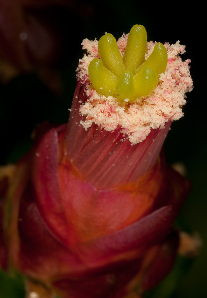 Early stage of a cactus flower