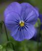 Pansy viola x wittrockiana blue