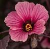Redleaf Hibiscus