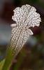 •Location - Leu Gardens<br /> • Whitetop Pitcher Plant - Sarracenia leucophylla