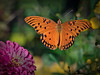 Gulf Fritillary Butterfly in flight
