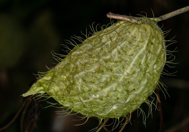 Gomphonocarpus