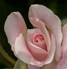 • Location - Leu Gardens<br /> • Pink Rose