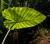 • Location - Leu Gardens<br /> • Back-lit Colocasia