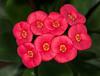 • Location - Leu Gardens<br /> • Euphorbia milii