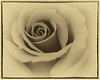 • Location - Leu Gardens<br /> • I turn this image of a rose into a Sepia tone