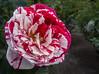 Japanese Camellia - Camellia japonica