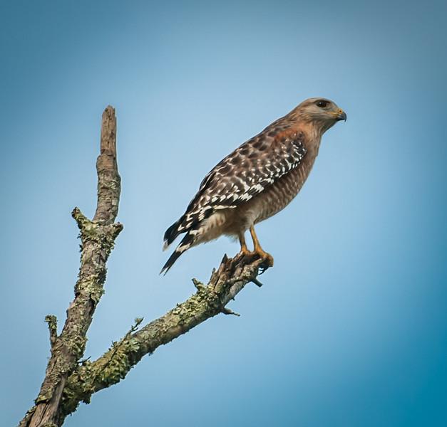 • Torsohatchee State Reserve<br /> • Red-Shouldered Hawk