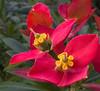 Flame of Jamaica - Euphorbia punicea