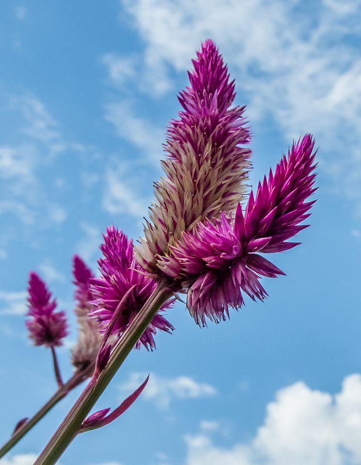 Flamingo Feather - Celosia Spicata
