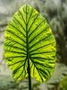 • Leu Gardens<br /> • Backlit Giant taro (yumievriwan)