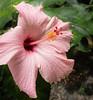 • Leu Gardens<br /> •Hibiscus