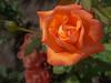 • Leu Gardens<br /> • Orange Rose