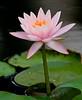 McKee Botanical Garden - Barbara Dobbins Water Lily (Nymphea Barbara Dobbins)