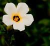 McKee Botanical Garden - White Alder (Turnera subulata)