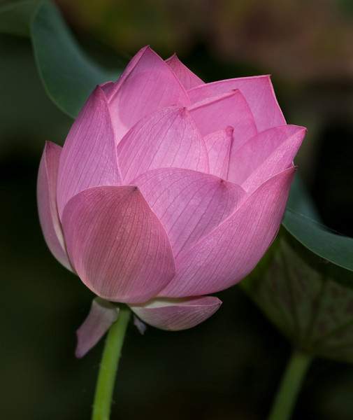 McKee Botanical Garden - Pretty Pink Princess Lotus